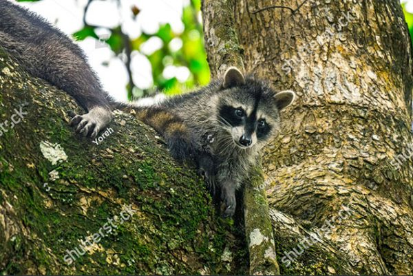 stock-photo-baby-cub-racoon-with-his-mother-on-tree-branch-staring-in-cahuita-national-park-costa-rica-1318146629