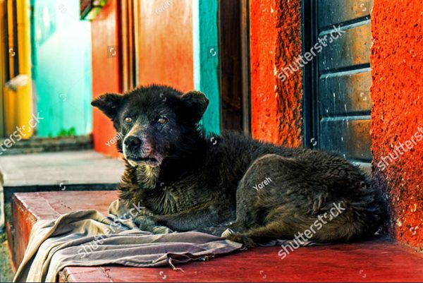 stock-photo-fluffy-old-dog-lying-in-front-of-colorful-houses-in-mexico-1250363185