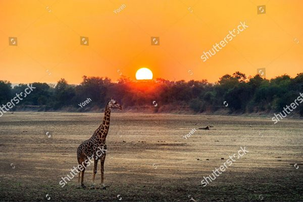 stock-photo-giraffe-calf-at-sunset-in-africa-697800643