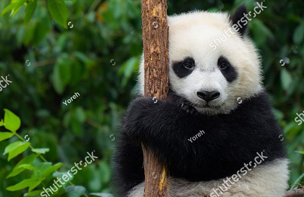 stock-photo-panda-baby-cub-sitting-in-tree-in-china-543226399