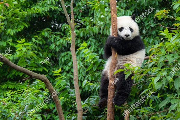 stock-photo-panda-baby-cub-sitting-in-tree-in-china-543226405