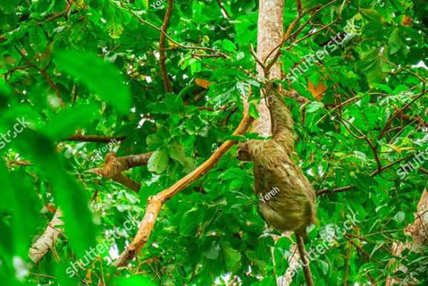 stock-photo-three-toed-sloth-climbing-in-green-forest-in-national-park-cahuita-costa-rica-1318354751
