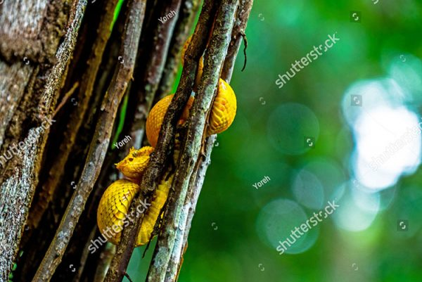 stock-photo-yellow-little-eyelash-viper-snake-tangled-up-in-tree-in-cahuita-national-park-costa-rica-jungle-1318594871