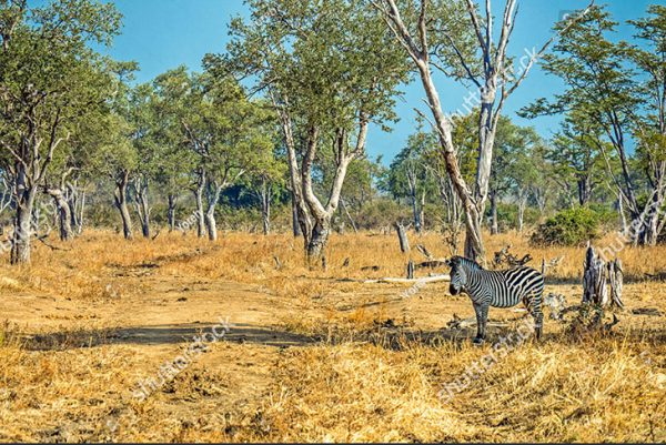 stock-photo-zebra-standing-alone-in-the-shade-looking-in-camera-in-zambia-africa-712363252